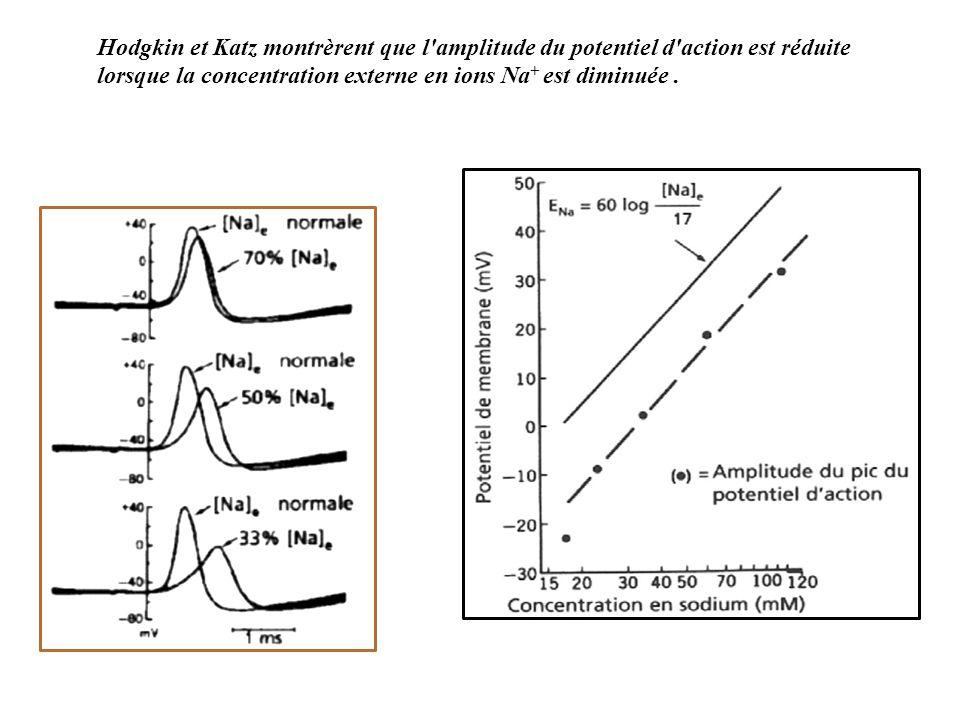 Hodgkin et Katz montrèrent que l amplitude du potentiel d action est réduite lorsque la concentration externe en ions Na + est diminuée.