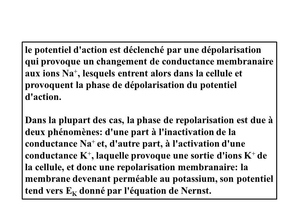 le potentiel d action est déclenché par une dépolarisation qui provoque un changement de conductance membranaire aux ions Na +, lesquels entrent alors dans la cellule et provoquent la phase de dépolarisation du potentiel d action.