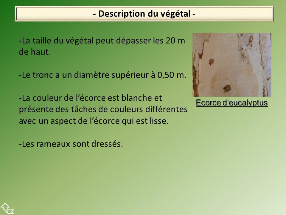 - Description du végétal -  -La taille du végétal peut dépasser les 20 m de haut. -Le tronc a un diamètre supérieur à 0,50 m. -La couleur de l'écorce