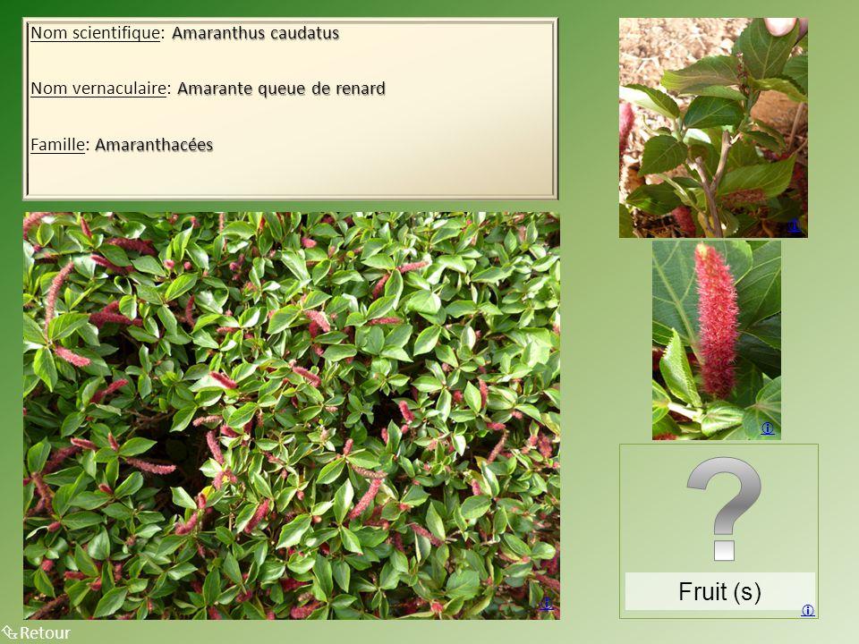 Amaranthus caudatus Nom scientifique: Amaranthus caudatus Amarante queue de renard Nom vernaculaire: Amarante queue de renard Amaranthacées Famille: Amaranthacées  Retour    Fruit (s) 