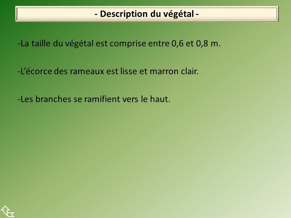 -La taille du végétal est comprise entre 0,6 et 0,8 m. -L'écorce des rameaux est lisse et marron clair. -Les branches se ramifient vers le haut. - Des