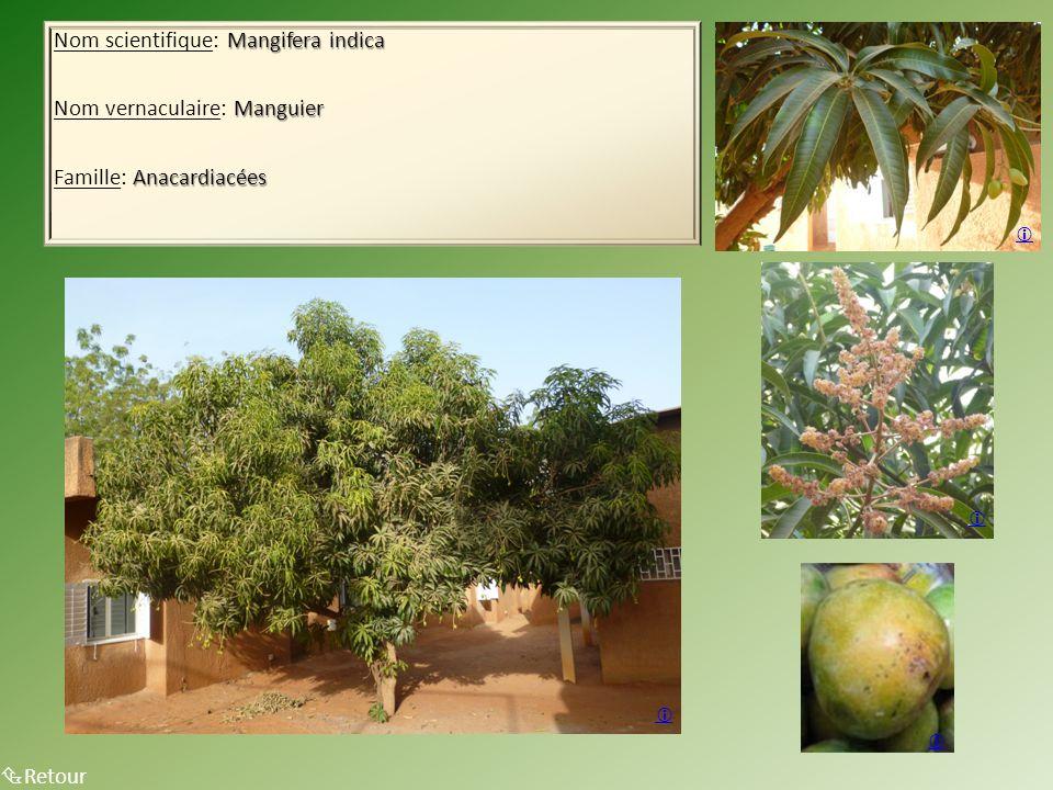 Mangifera indica Nom scientifique: Mangifera indica Manguier Nom vernaculaire: Manguier Anacardiacées Famille: Anacardiacées Arbre en entier  Retour    