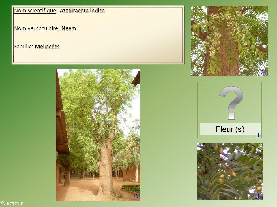 Azadirachta indica Nom scientifique: Azadirachta indica Neem Nom vernaculaire: Neem Méliacées Famille: Méliacées  Retour    Fleur (s) 