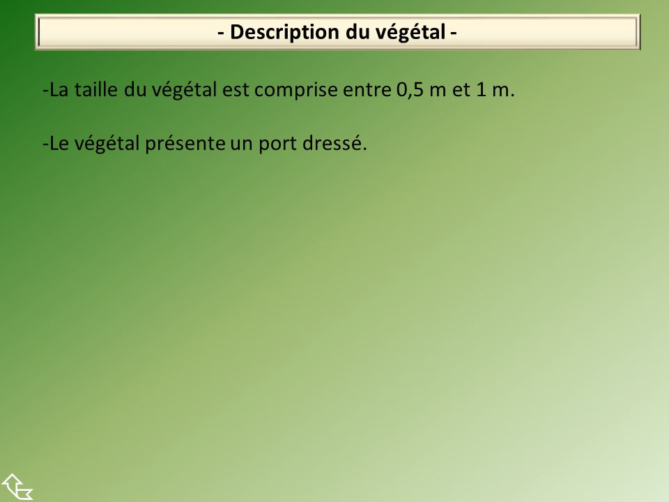 - Description du végétal -  -La taille du végétal est comprise entre 0,5 m et 1 m. -Le végétal présente un port dressé.