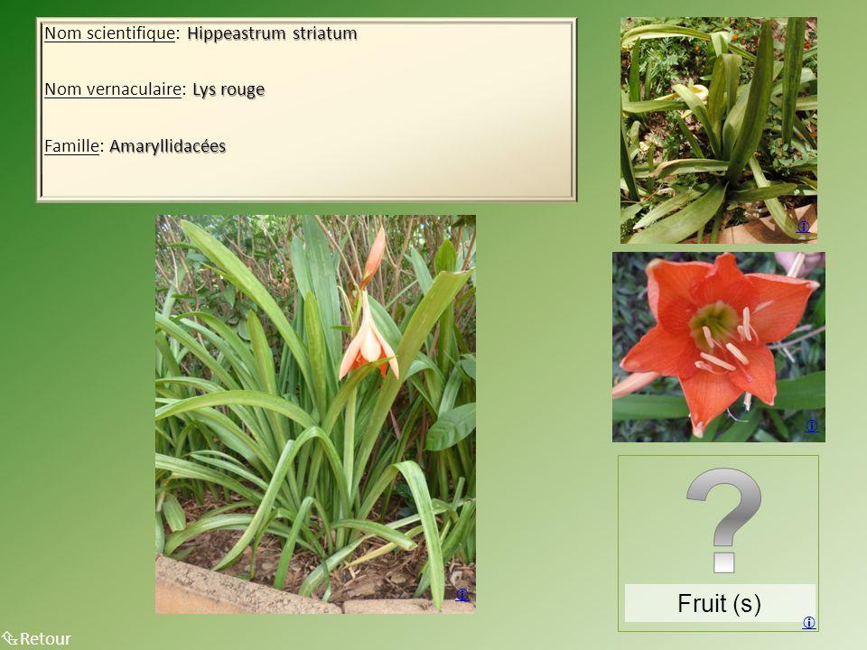 Hippeastrum striatum Nom scientifique: Hippeastrum striatum Lys rouge Nom vernaculaire: Lys rouge Amaryllidacées Famille: Amaryllidacées  Retour Fruit (s)    