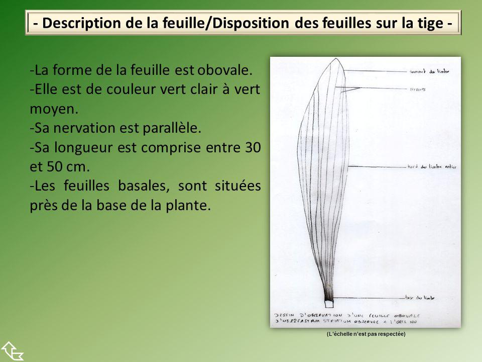 - Description de la feuille/Disposition des feuilles sur la tige -  -La forme de la feuille est obovale. -Elle est de couleur vert clair à vert moyen