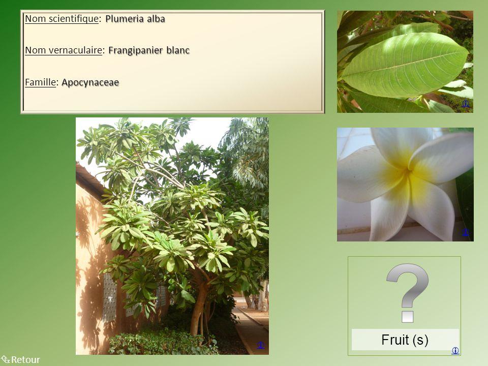 Plumeria alba Nom scientifique: Plumeria alba Frangipanier blanc Nom vernaculaire: Frangipanier blanc Apocynaceae Famille: Apocynaceae  Retour Fruit (s)    