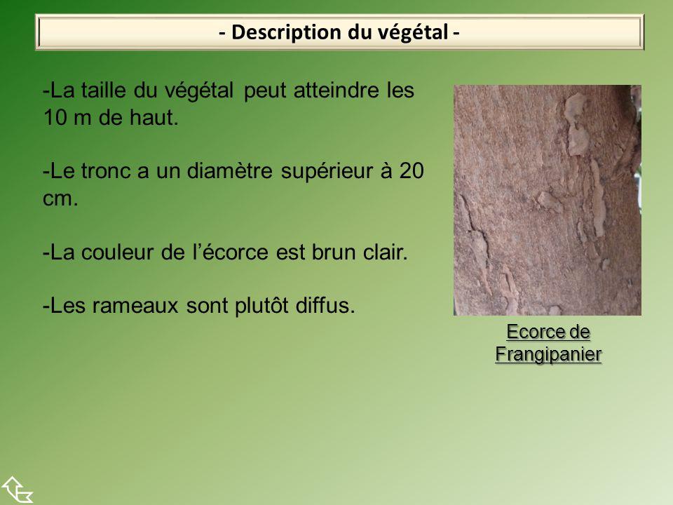 - Description du végétal -  -La taille du végétal peut atteindre les 10 m de haut. -Le tronc a un diamètre supérieur à 20 cm. -La couleur de l'écorce