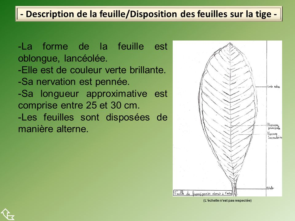 - Description de la feuille/Disposition des feuilles sur la tige -  -La forme de la feuille est oblongue, lancéolée. -Elle est de couleur verte brill