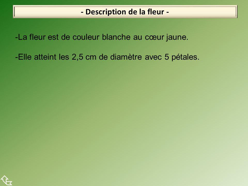 - Description de la fleur -  -La fleur est de couleur blanche au cœur jaune. -Elle atteint les 2,5 cm de diamètre avec 5 pétales.