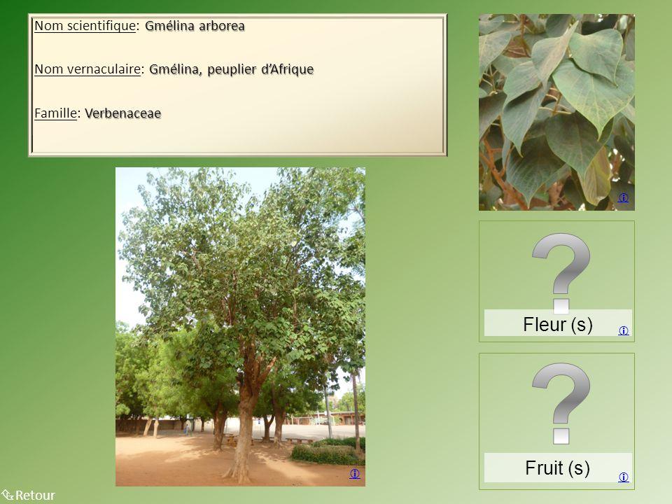 Gmélina arborea Nom scientifique: Gmélina arborea Gmélina, peuplier d'Afrique Nom vernaculaire: Gmélina, peuplier d'Afrique Verbenaceae Famille: Verbenaceae  Retour Fruit (s)  Fleur (s)   