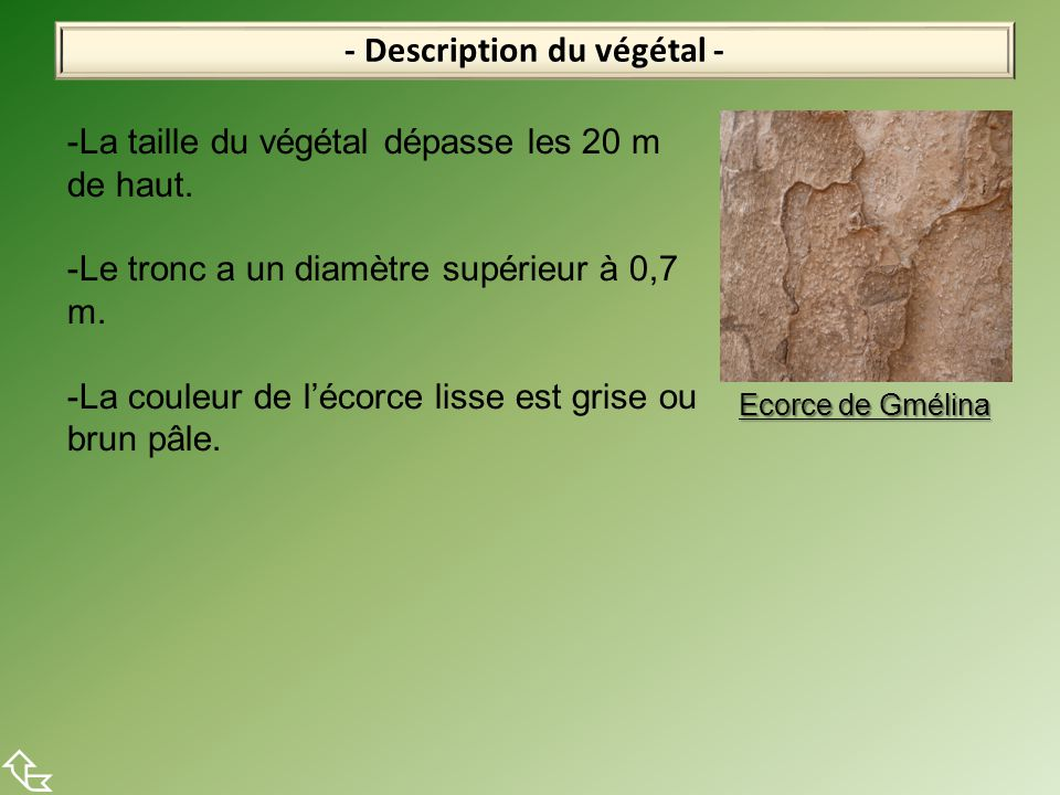 - Description du végétal -  -La taille du végétal dépasse les 20 m de haut. -Le tronc a un diamètre supérieur à 0,7 m. -La couleur de l'écorce lisse
