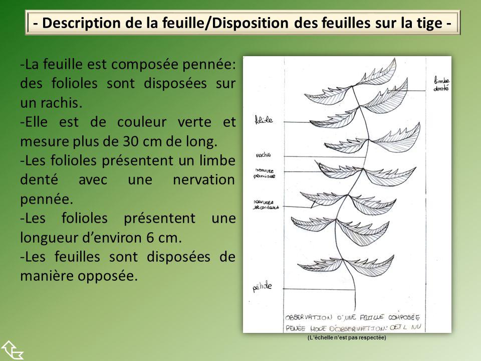 - Description de la feuille/Disposition des feuilles sur la tige -  -La feuille est composée pennée: des folioles sont disposées sur un rachis. -Elle