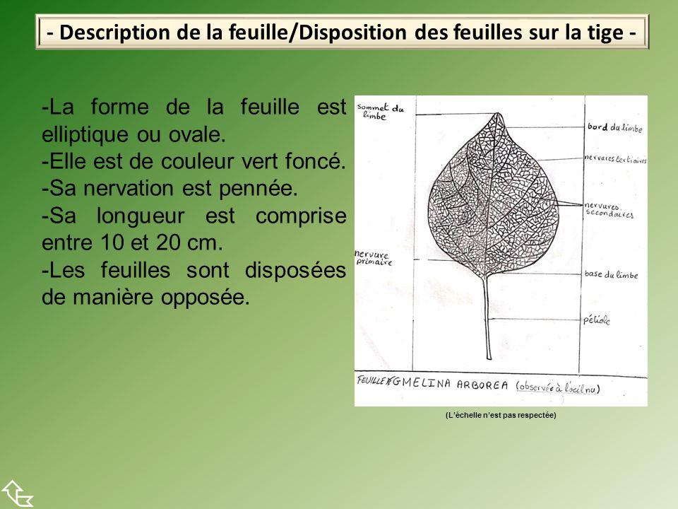 - Description de la feuille/Disposition des feuilles sur la tige -  -La forme de la feuille est elliptique ou ovale. -Elle est de couleur vert foncé.