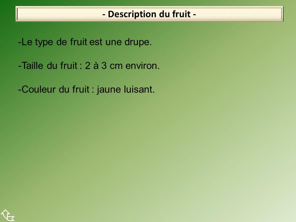 - Description du fruit -  -Le type de fruit est une drupe. -Taille du fruit : 2 à 3 cm environ. -Couleur du fruit : jaune luisant.