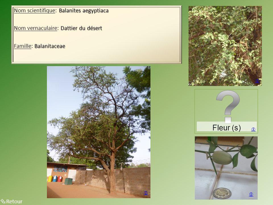 Balanites aegyptiaca Nom scientifique: Balanites aegyptiaca Dattier du désert Nom vernaculaire: Dattier du désert Balanitaceae Famille: Balanitaceae 