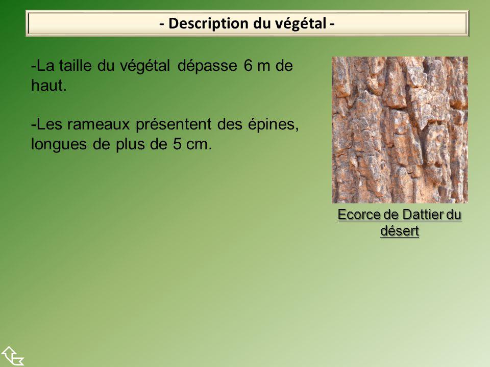 - Description du végétal -  -La taille du végétal dépasse 6 m de haut. -Les rameaux présentent des épines, longues de plus de 5 cm. Ecorce de Dattier
