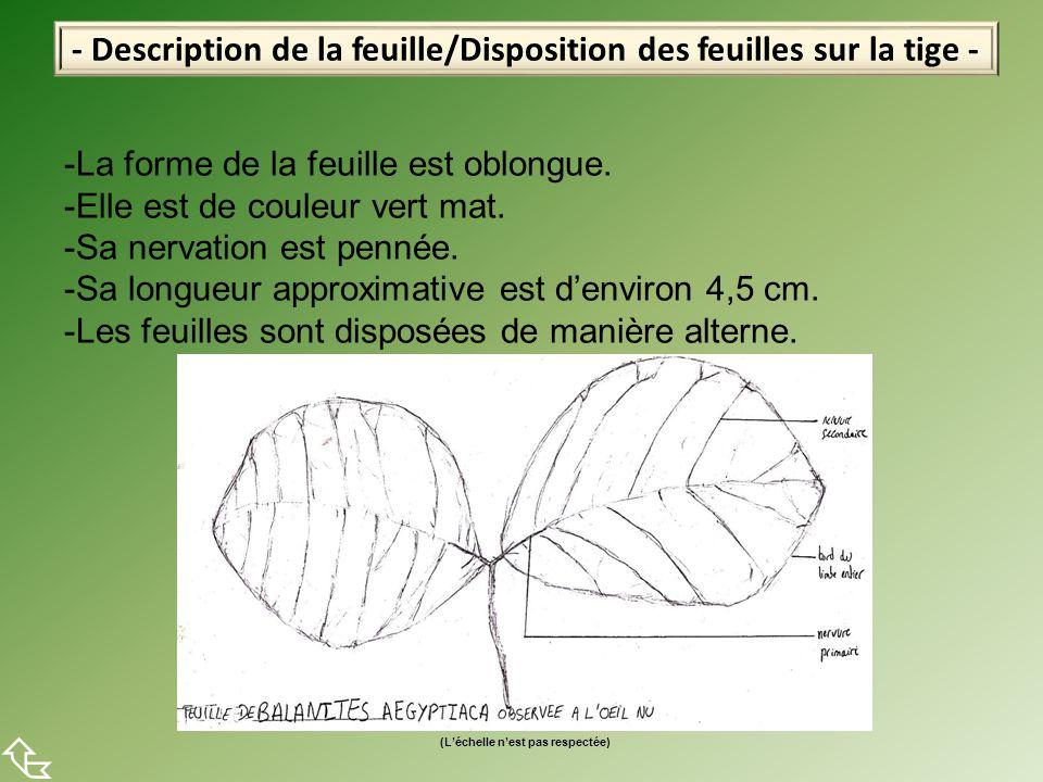 - Description de la feuille/Disposition des feuilles sur la tige -  -La forme de la feuille est oblongue. -Elle est de couleur vert mat. -Sa nervatio