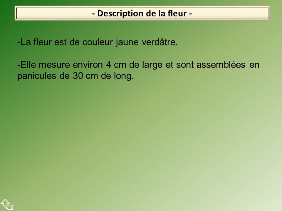 - Description de la fleur -  -La fleur est de couleur jaune verdâtre. -Elle mesure environ 4 cm de large et sont assemblées en panicules de 30 cm de
