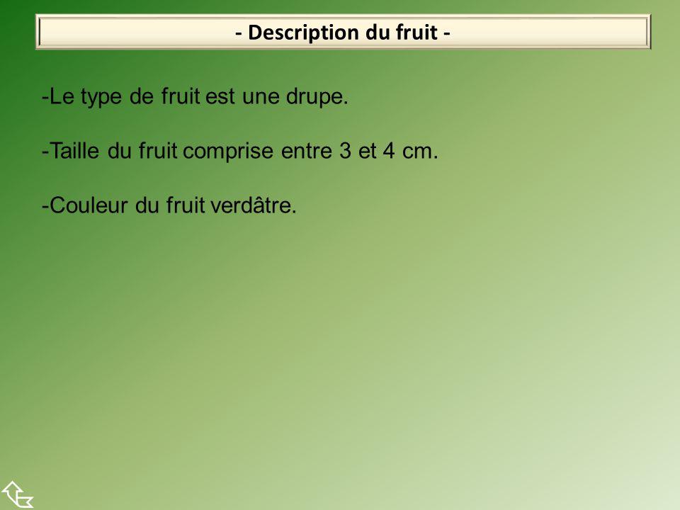 - Description du fruit -  -Le type de fruit est une drupe. -Taille du fruit comprise entre 3 et 4 cm. -Couleur du fruit verdâtre.