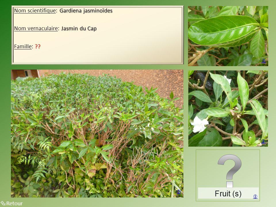 Gardiena jasminoïdes Nom scientifique: Gardiena jasminoïdes Jasmin du Cap Nom vernaculaire: Jasmin du Cap ?? Famille: ??  Retour Fruit (s)    