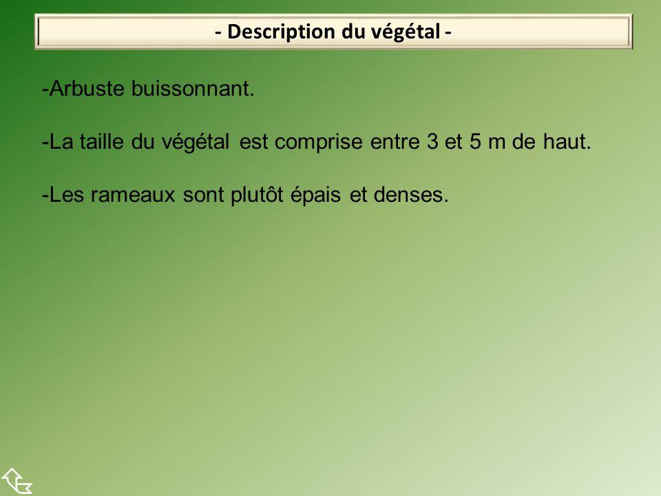 - Description du végétal -  -Arbuste buissonnant. -La taille du végétal est comprise entre 3 et 5 m de haut. -Les rameaux sont plutôt épais et denses