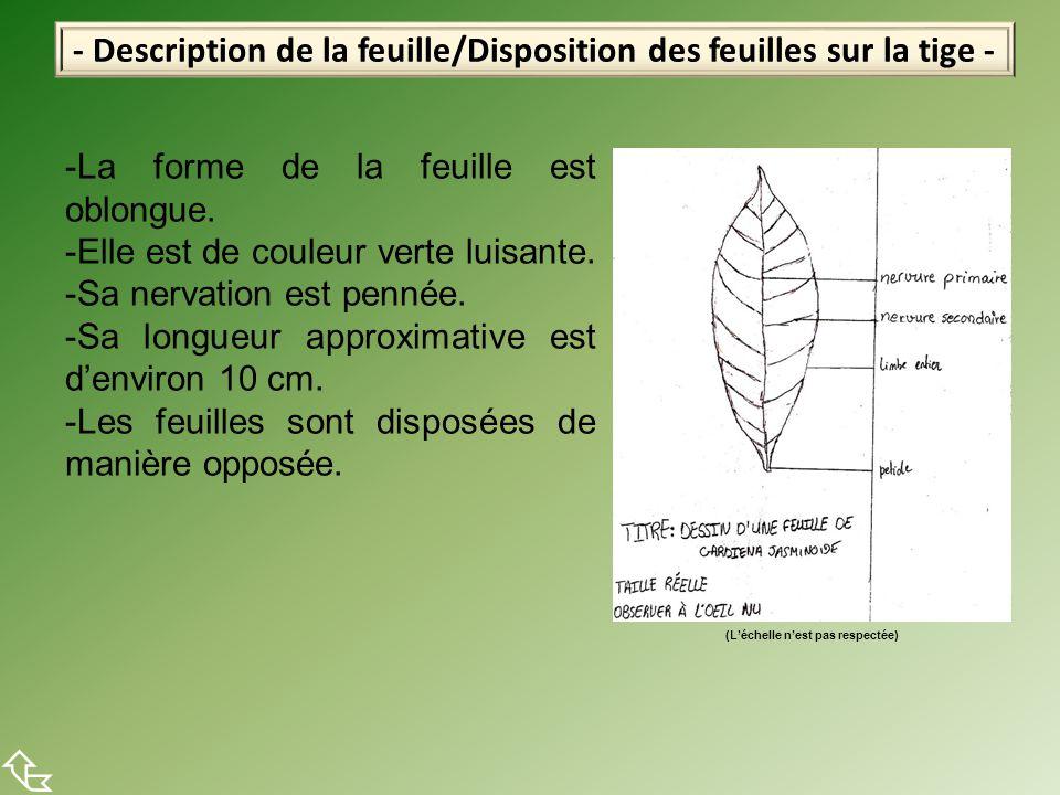 - Description de la feuille/Disposition des feuilles sur la tige -  -La forme de la feuille est oblongue. -Elle est de couleur verte luisante. -Sa ne
