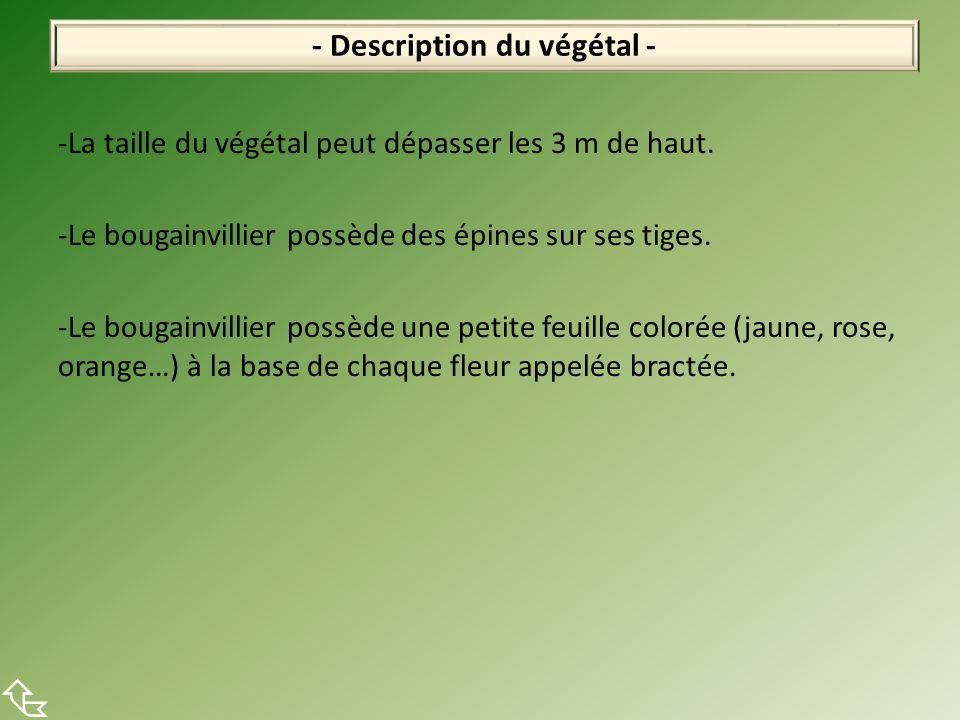 -La taille du végétal peut dépasser les 3 m de haut.