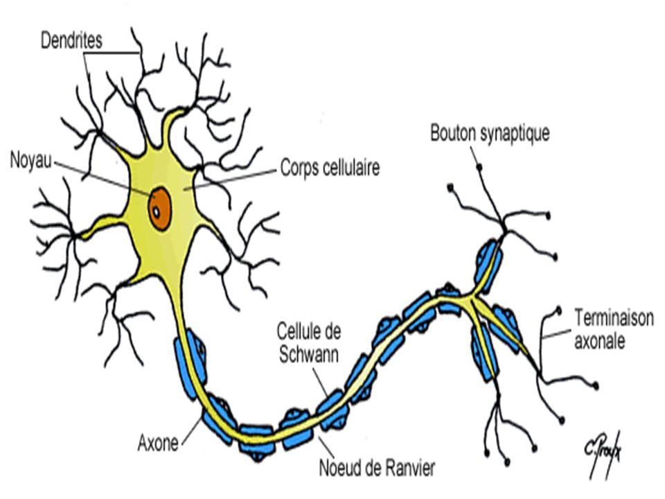 Corne antérieure de la moelle Ganglion spinal Neurone afférent Neurone efférent Epinèvre Périnèvre Endonèvre Fascicules Terminaison sensitive Terminaison motrice Axone Myéline Cellule de Schwann Nœud de Ranvier