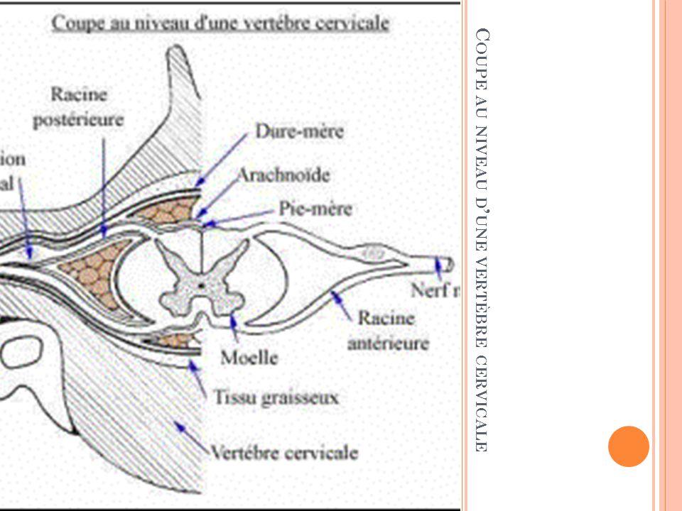 SYNDROME NEUROGENE PERIPHERIQUE Ensemble des symptômes et signes témoignant d une atteinte du système nerveux périphérique (SNP) Le SNP comprend : Un neurone moteur (corps cellulaire dans la corne antérieure de la moelle) Un neurone sensitif (corps cellulaire dans le ganglion spinal) Un contingent végétatif, ou autonome