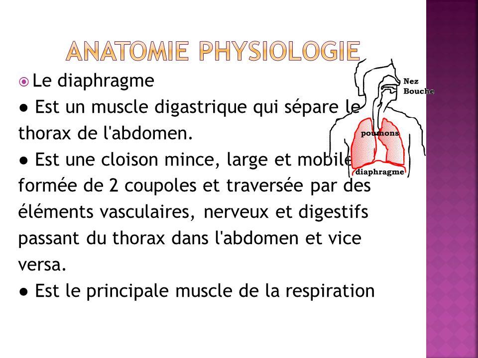  Le diaphragme ● Est un muscle digastrique qui sépare le thorax de l abdomen.