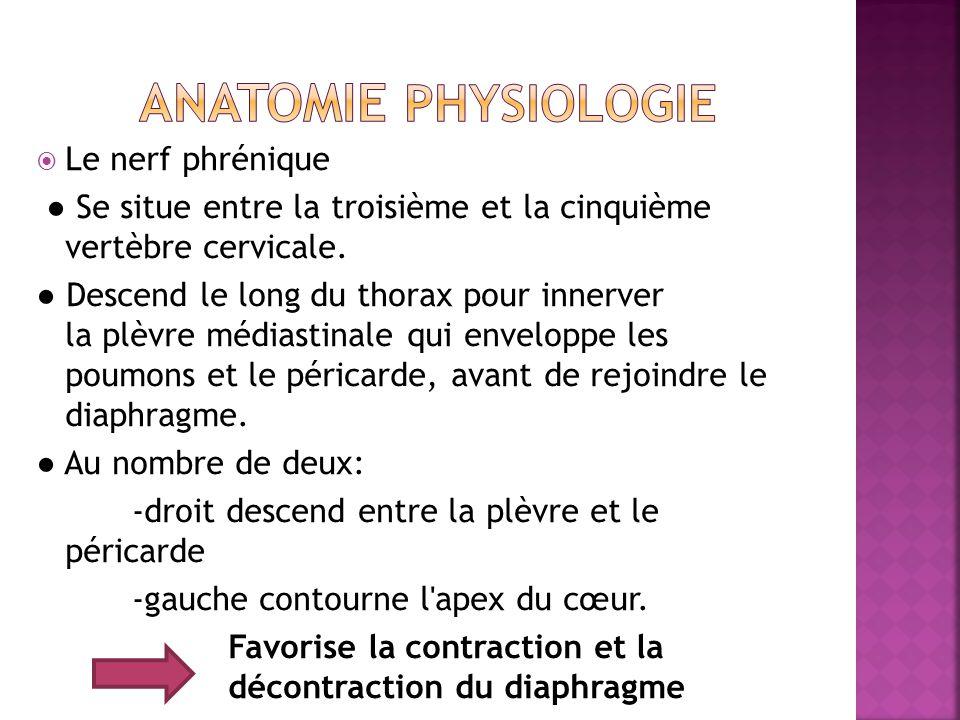  Le nerf phrénique ● Se situe entre la troisième et la cinquième vertèbre cervicale.