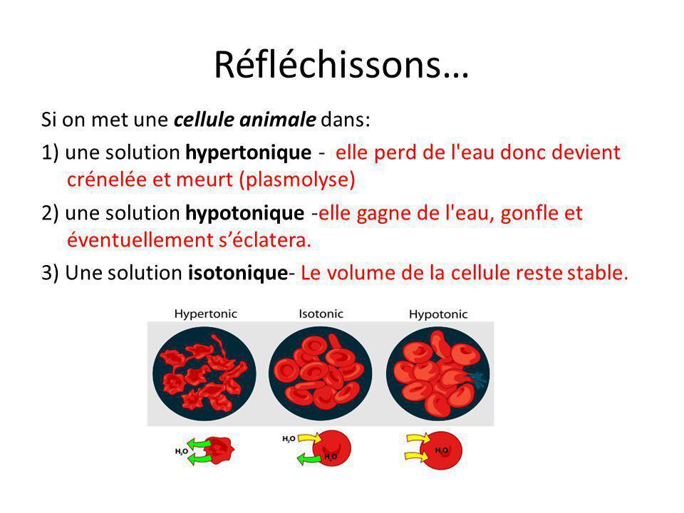 Réfléchissons… Si on met une cellule animale dans: 1) une solution hypertonique - elle perd de l'eau donc devient crénelée et meurt (plasmolyse) 2) un
