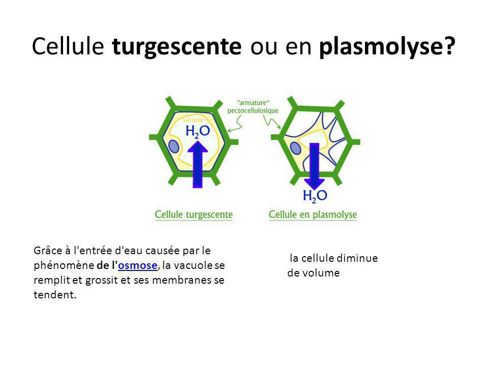 Cellule turgescente ou en plasmolyse? la cellule diminue de volume Grâce à l'entrée d'eau causée par le phénomène de l'osmose, la vacuole se remplit e