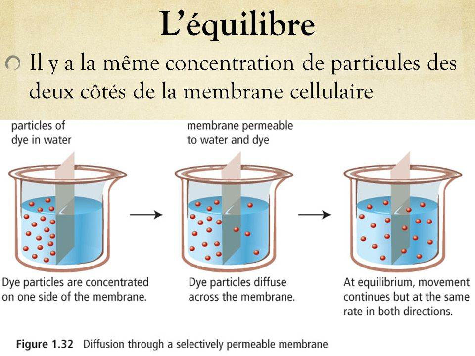 L'osmose La diffusion d'un liquide à travers une membrane semi-perméable; les particules se déplacent du côté où la concentration en soluté est élevée au côté où la concentration est moins élevée.