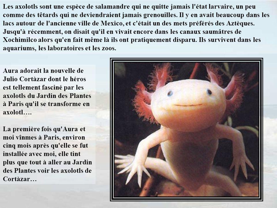 Les axolotls sont une espèce de salamandre qui ne quitte jamais l état larvaire, un peu comme des têtards qui ne deviendraient jamais grenouilles.