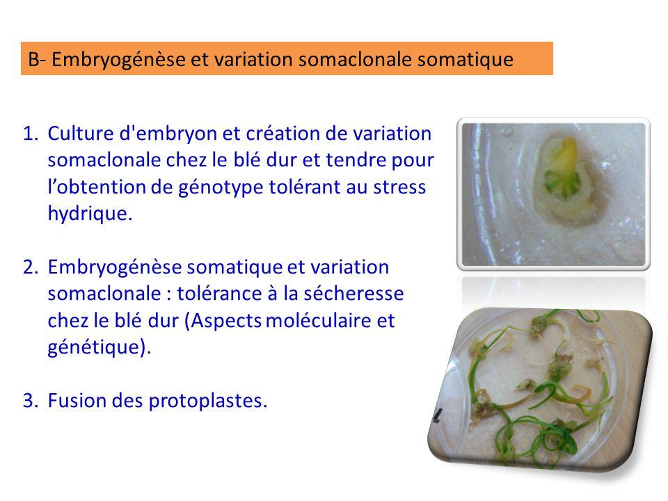 B- Embryogénèse et variation somaclonale somatique 1.Culture d embryon et création de variation somaclonale chez le blé dur et tendre pour l'obtention de génotype tolérant au stress hydrique.