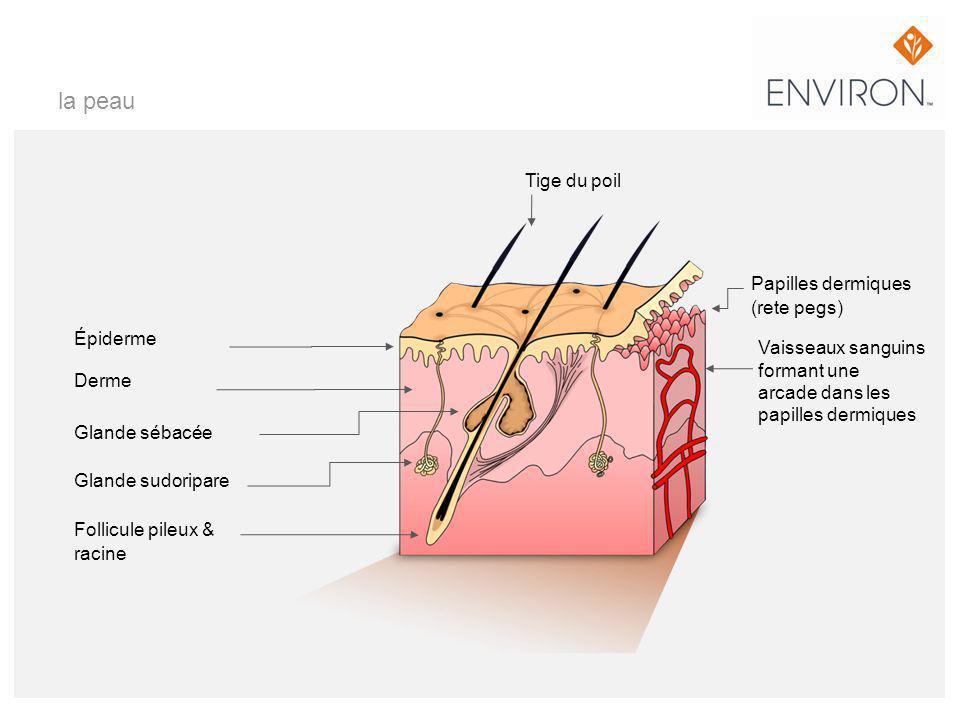 la peau Épiderme Derme Glande sébacée Glande sudoripare Follicule pileux & racine Tige du poil Papilles dermiques (rete pegs) Vaisseaux sanguins forma