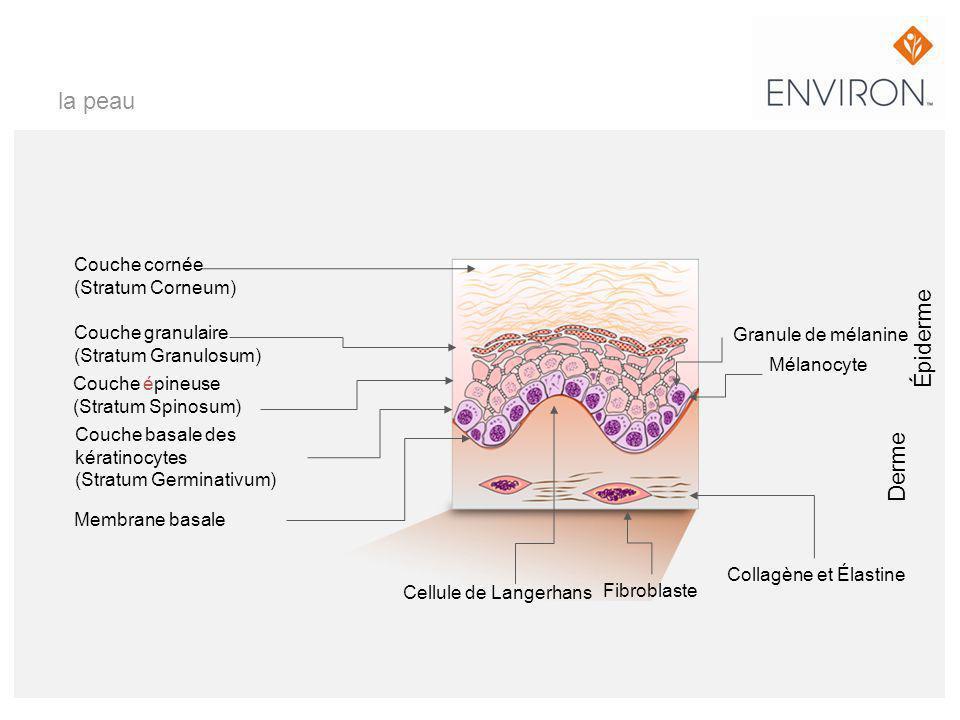 la peau Couche cornée (Stratum Corneum) Couche granulaire (Stratum Granulosum) Couche épineuse (Stratum Spinosum) Couche basale des kératinocytes (Str