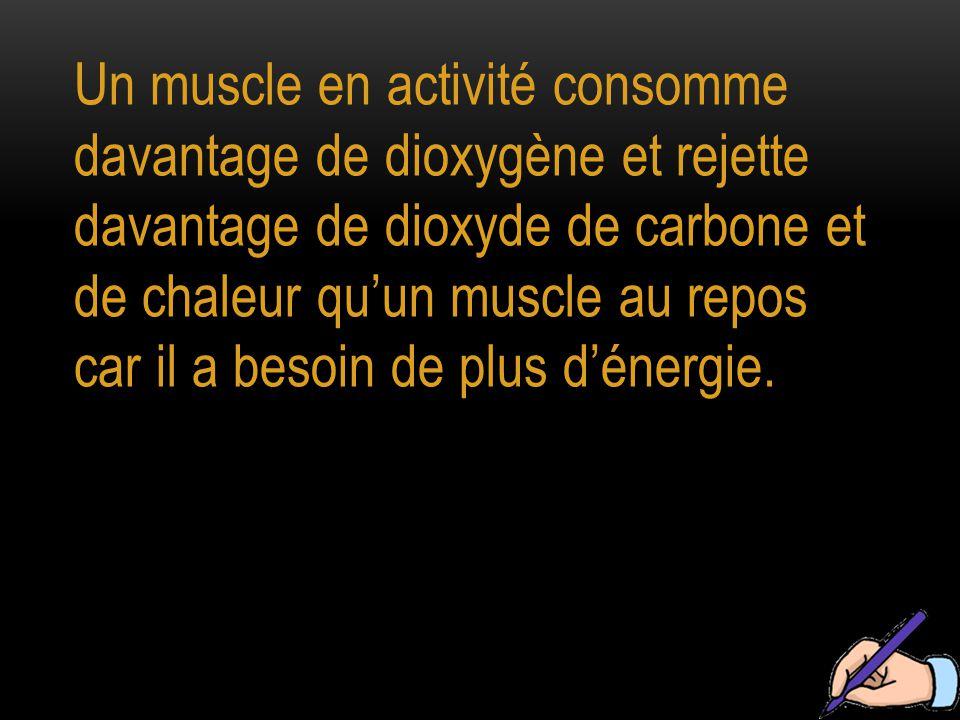Un muscle en activité consomme davantage de dioxygène et rejette davantage de dioxyde de carbone et de chaleur qu'un muscle au repos car il a besoin d