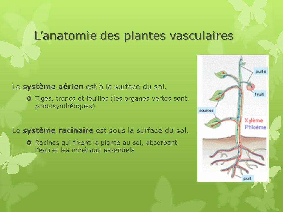 L'anatomie des plantes vasculaires Le système aérien est à la surface du sol.  Tiges, troncs et feuilles (les organes vertes sont photosynthétiques)