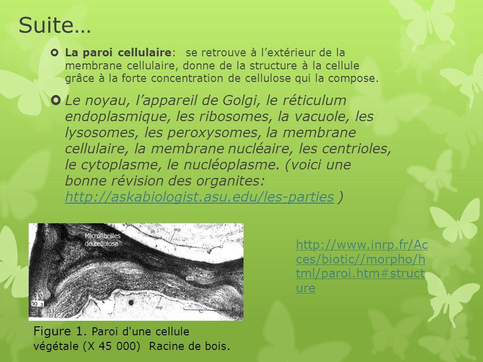 Suite…  La paroi cellulaire: se retrouve à l'extérieur de la membrane cellulaire, donne de la structure à la cellule grâce à la forte concentration de cellulose qui la compose.