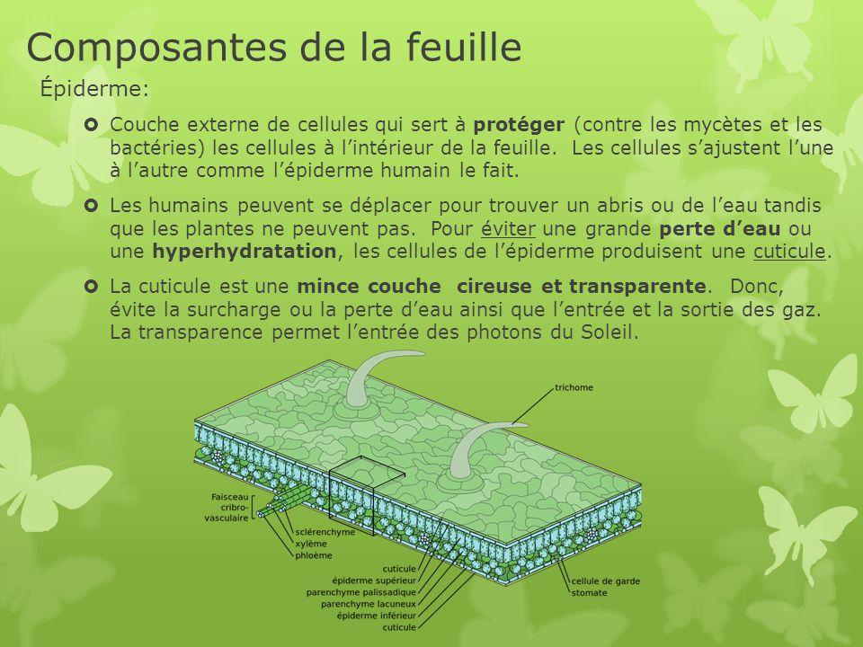 Composantes de la feuille Épiderme:  Couche externe de cellules qui sert à protéger (contre les mycètes et les bactéries) les cellules à l'intérieur
