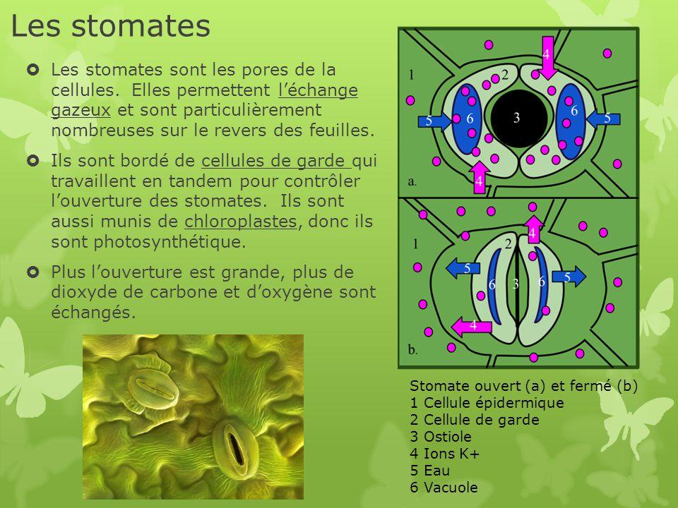 Les stomates  Les stomates sont les pores de la cellules. Elles permettent l'échange gazeux et sont particulièrement nombreuses sur le revers des feu