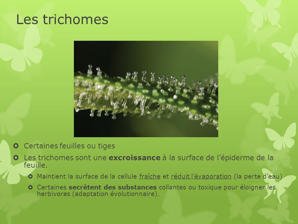 Les trichomes  Certaines feuilles ou tiges  Les trichomes sont une excroissance à la surface de l'épiderme de la feuille.  Maintient la surface de