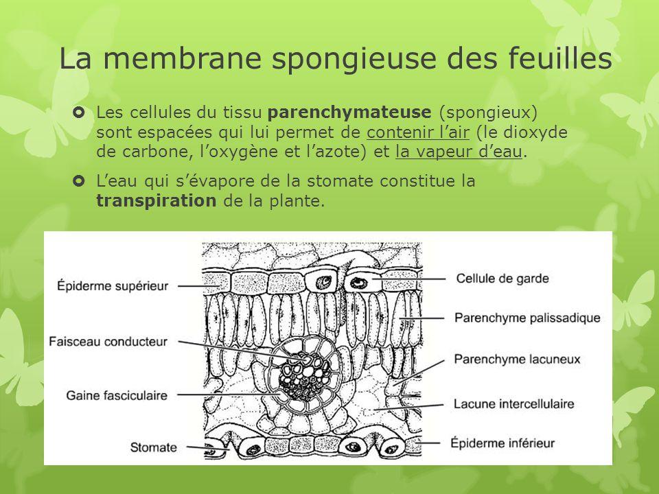 La membrane spongieuse des feuilles  Les cellules du tissu parenchymateuse (spongieux) sont espacées qui lui permet de contenir l'air (le dioxyde de carbone, l'oxygène et l'azote) et la vapeur d'eau.