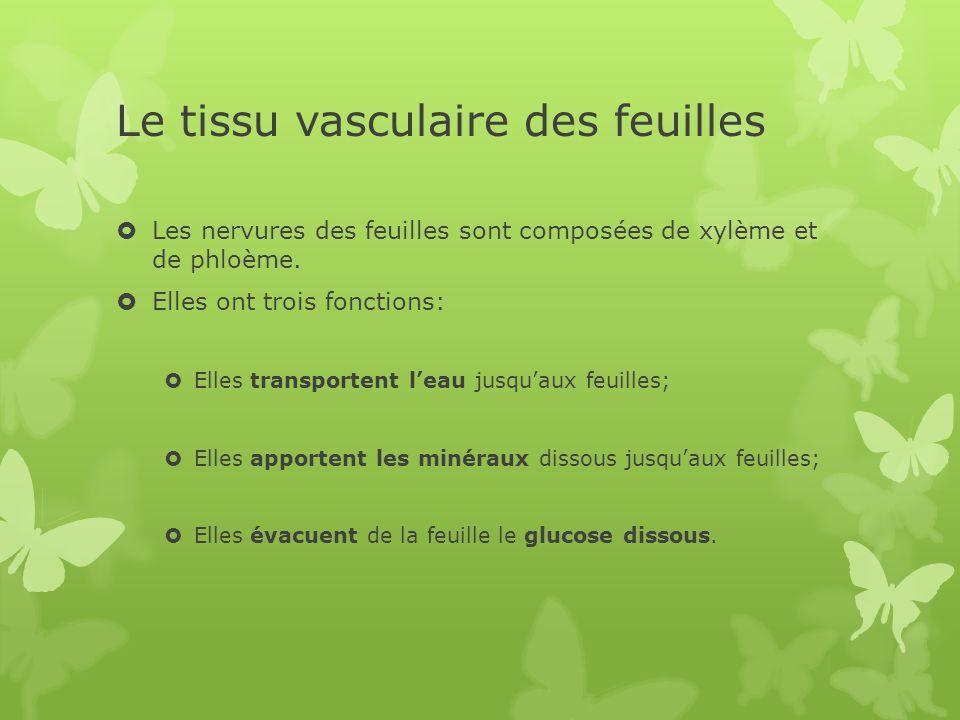 Le tissu vasculaire des feuilles  Les nervures des feuilles sont composées de xylème et de phloème.  Elles ont trois fonctions:  Elles transportent