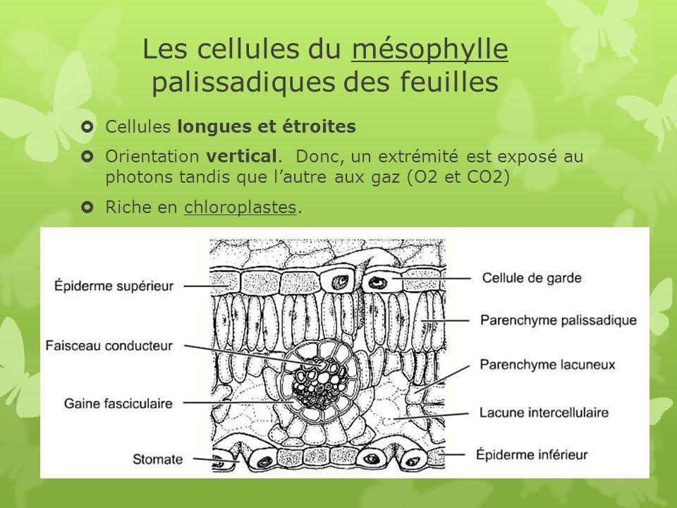 Les cellules du mésophylle palissadiques des feuilles  Cellules longues et étroites  Orientation vertical. Donc, un extrémité est exposé au photons