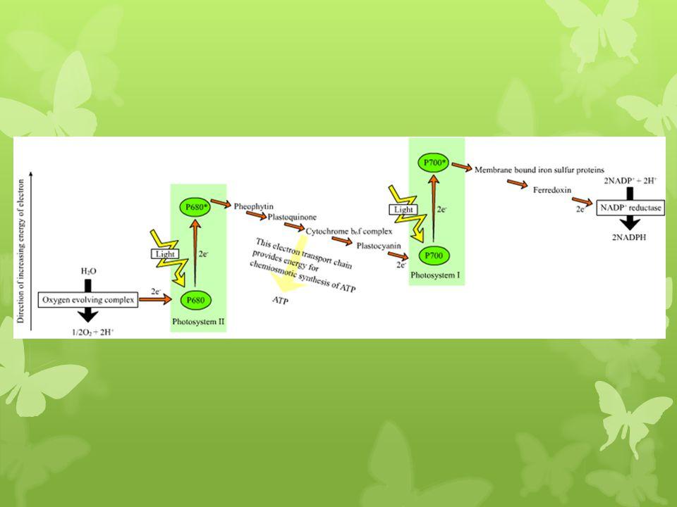 Cellule du mésophylle palissadique Cellule du mésophylle lacuneux Faisceau conducteur