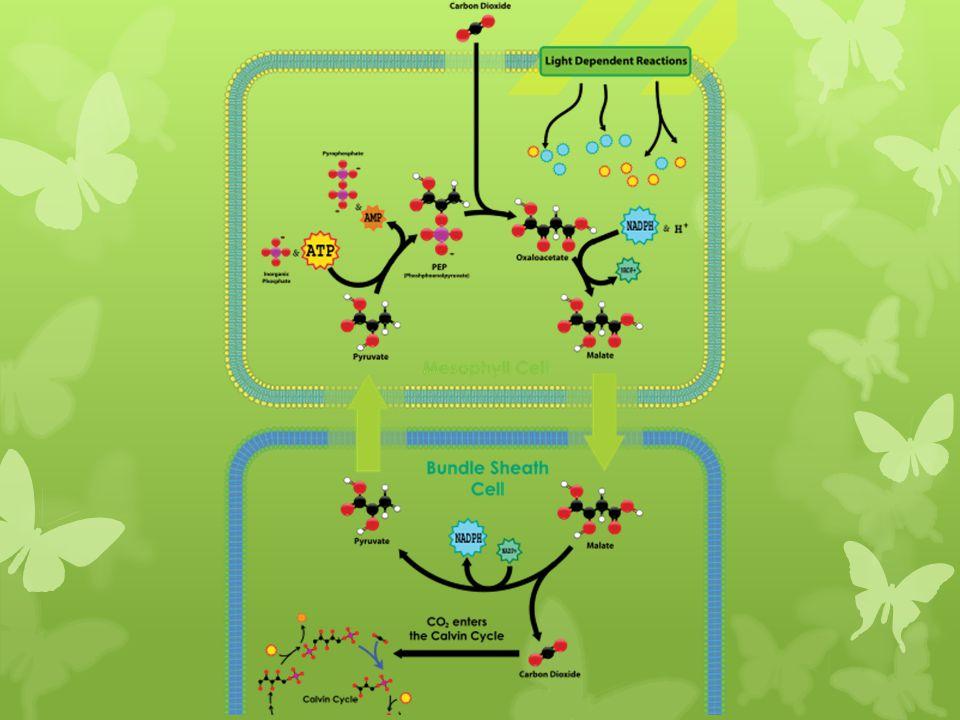 Plasmodesme Paroi cellulaire Plasmodesme Cytoplasme Paroi cellulaire